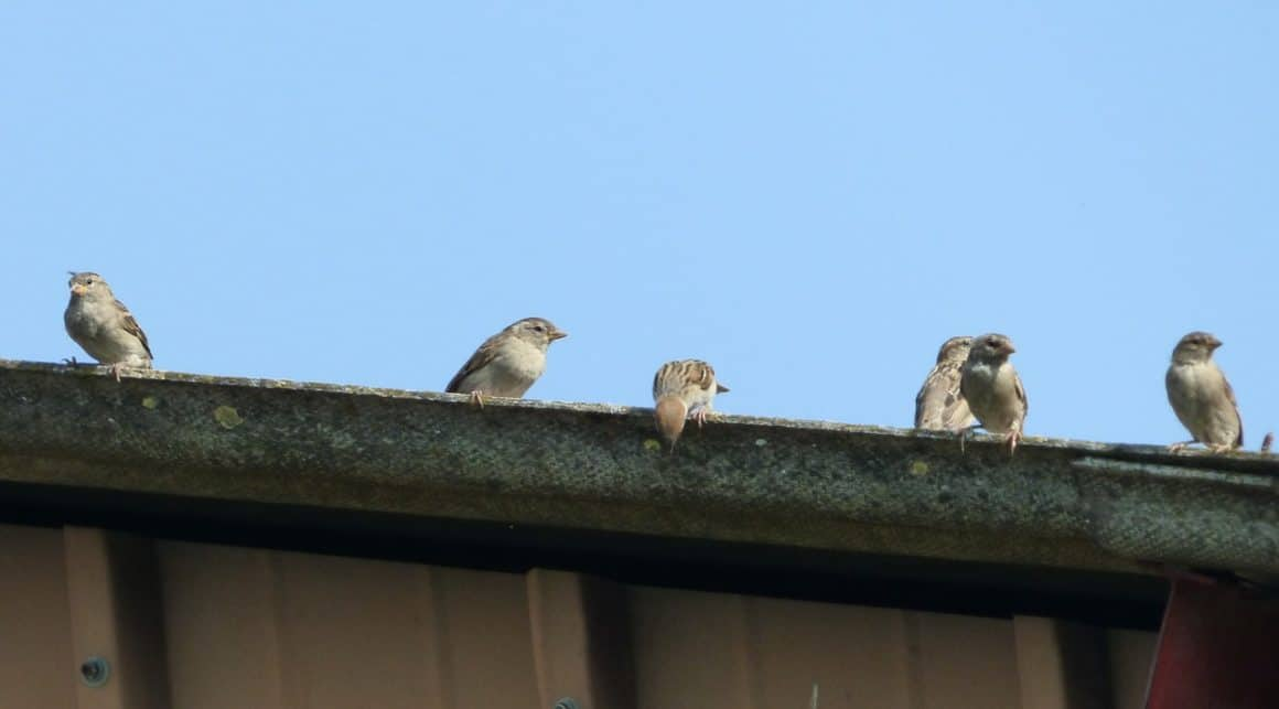 Guttering with sparrows