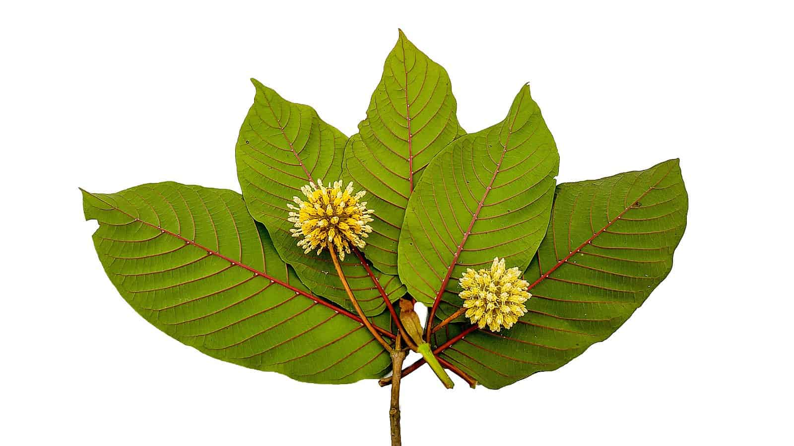 The Good, the Bad, and the Maybe About Kratom